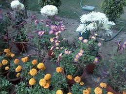 marigolds in bloom on a sunny winter day in delhi university