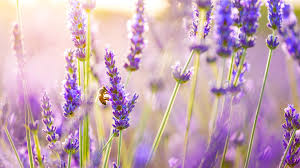 lavender flowers 3840x2160 lavender flowers 4k hd 4k wallpapers images