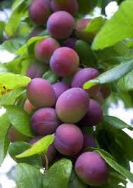 plum tree problems what to do when a plum tree fails to