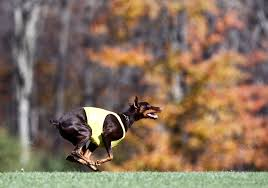bluetick vs english coonhound coursing ability test american kennel club
