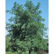 shop 24 5 gallon skyline honeylocust shade tree l1079 at lowes com