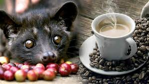 Luwak Coffee kopi luwak 100 for a cup of cat poo coffee look4ward