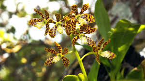native plants of florida bringing a u0027million orchids u0027 to florida u0027s trees npr