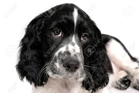 english springer spaniel puppy stock photo picture and royalty