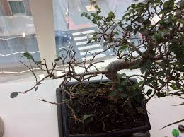 indoor chinese elm started to dropping its leaves