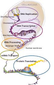 Dna Rna And Protein Synthesis Worksheet Simply Put The Cell Has Dna Rna Protein Each Complex But