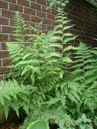 transplanting native plants did you know successfully transplanting ferns