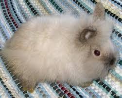 lion heads for sale lionhead bunnies adults lop doe mini rex bunnies for