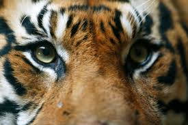indonesia sees rise in sumatran tiger numbers animals nature