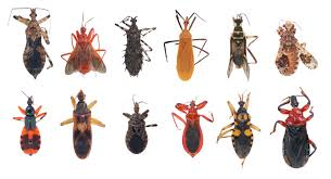 assasin bugs aka kissing bugs the vector for chagas disease the