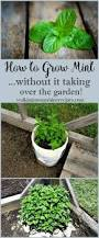 best 20 growing mint ideas on pinterest rosemary plant