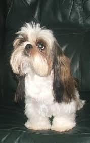 shih tzu haircuts fun shih tzu haircuts poodle forum standard poodle toy poodle