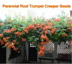 Fragrant Climbing Plant - creeping plants for shade your guide to creeping jenny sunset