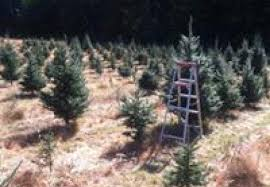 riverbend christmas tree farm lake george ny official tourism site