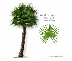 mediterranean fan palm tree ufei selectree a tree selection guide