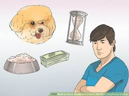 cost of a bichon frise how to know if a bichon frise is the right dog breed for you