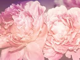 Pink Peonies Nursery Peonies Tag Wallpapers Peonies Flowers Sublime Innocent Twins