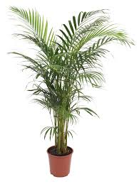 Large Planters For Trees by B U0026q Palm Tree In Plant Pot Departments Diy At B U0026q