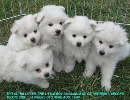 types of american eskimo dogs toy miniature american eskimo puppies dogs pictures information