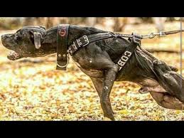 american pitbull terrier c american pitbull terrier supreme fighter youtube