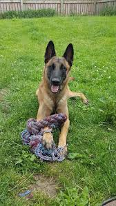 belgian sheepdog national specialty 2014 1146 best belgian malinois dog images on pinterest malinois dog
