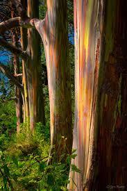 76 best the tree images on pinterest rainbow eucalyptus tree