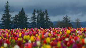 flowers tulip field tulips cloudy trees flowers day nature flower
