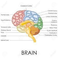 Nervous System Human Anatomy Nervous System Anatomy With Label Autonomic Nervous System Human