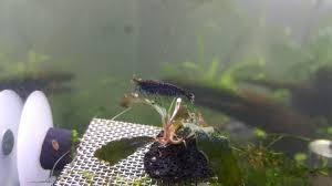 journal disciple u0027s tiger tank shrimp tank setup skf aquatics