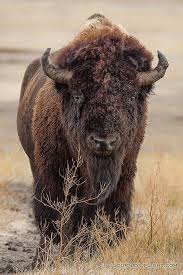 South Dakota wild animals images Best 25 buffalo pictures ideas bison pictures jpg