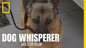learning the leash dog whisperer youtube