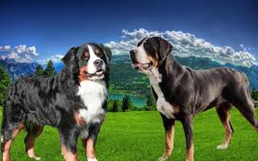 american pitbull terrier vs german shepherd greater swiss mountain dog german shepherd mix dog and cat