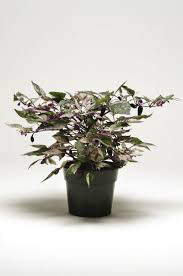 ornamental pepper capsicum anumm calico f1