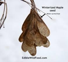 edible food maple tree seeds great survival food