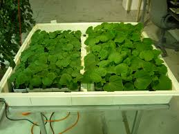 plant profile katrina cucumber growers supply