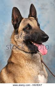 belgian malinois en espanol belgian malinois male dog belgian shepherd malinois ball toy