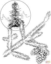 red spruce coloring page free printable coloring pages