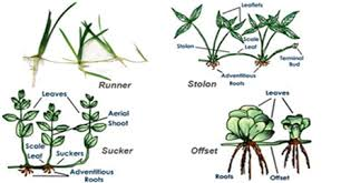 Vegetative Propagation By Roots - describe modifications of stem with suitable examples from