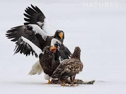 stellers sea eagle wallpapers steller u0027s sea eagle archives natureslens