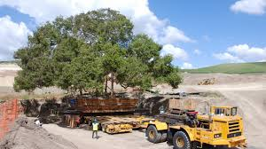 brightview tree company orange county tree relocation project