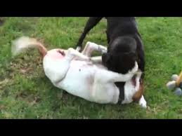 american pitbull terrier in bangalore pit bull vs american bull dog fight youtube
