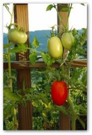 fertilizing tomatoes tomato fertilizer how to fertilize tomatoes