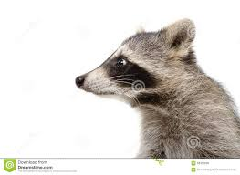 portrait of a raccoon in profile stock photo image 58457096