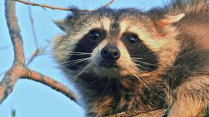 raccoon fight lang elliott