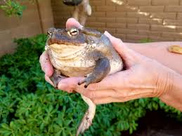 How To Get Rid Of Cane Toads In Backyard Toads Present A Challenge To Ahwatukee Dog Owners Community