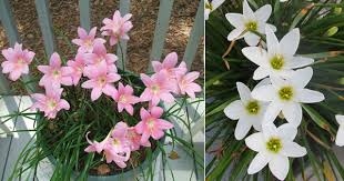 Lily Plant Did You Know About This Beautiful Fairy Zephyranthes Lily Is