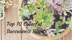 top 10 colorful succulents plants to beautify your gardens with