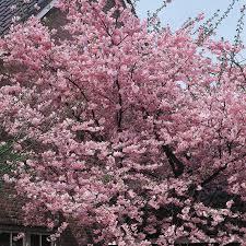 Flowering Cherry Shrub - shop 24 5 gallon kwanzan flowering cherry flowering tree l1023