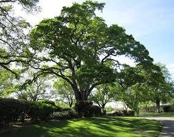 the live oak tree