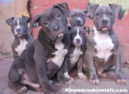 blue american pitbull terrier top 25 best american pitbull terrier breeders ideas on pinterest